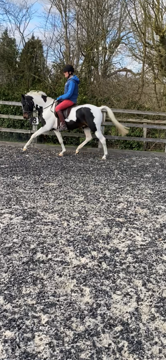 14hh AHS Licensed Sport Pony Stallion by Royal Command of Wentward