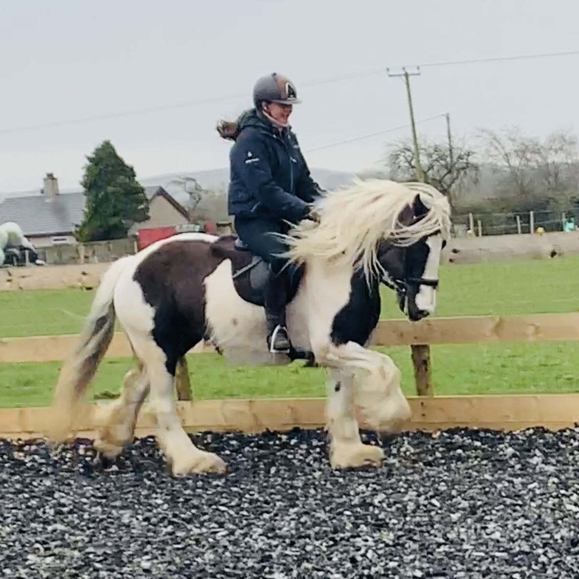 Silver Dapple 14.1 Traditional Mare